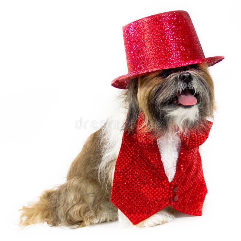Cão em um traje vermelho do partido foto de stock