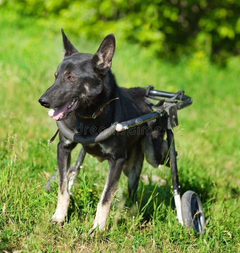 Cão em uma cadeira de rodas imagens de stock