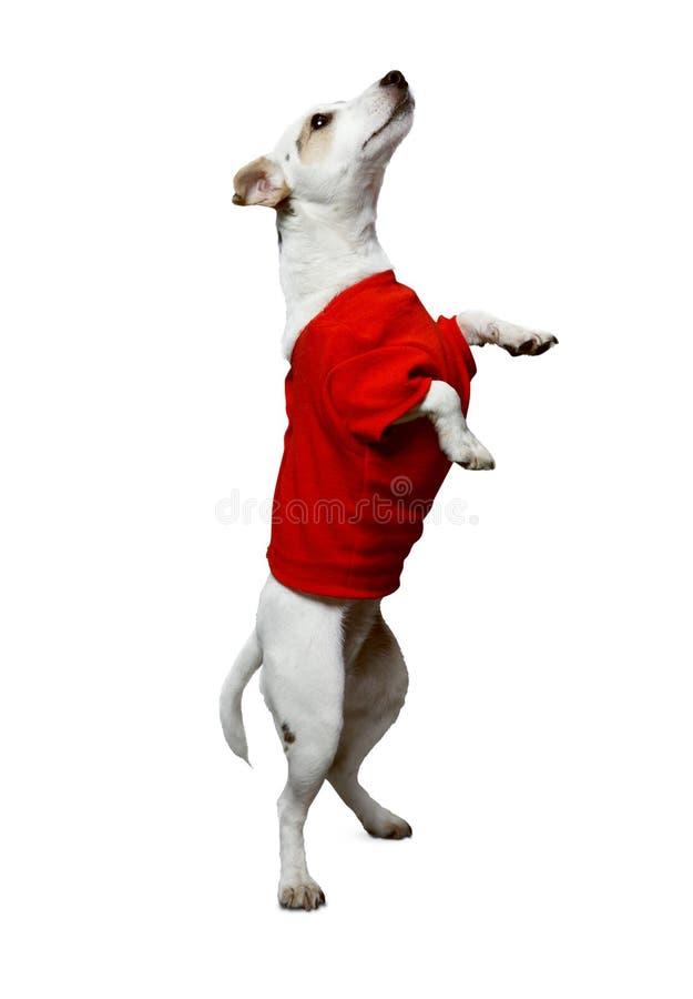 Cão em uma camisa vermelha imagens de stock royalty free