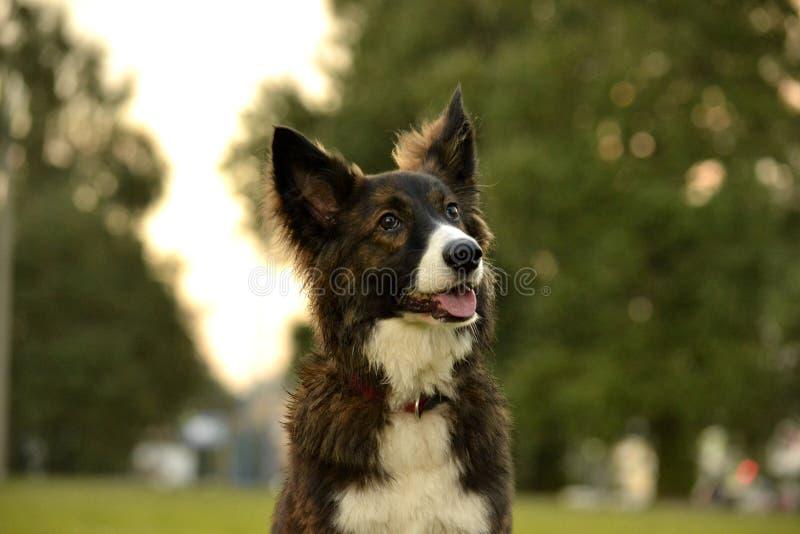 Cão energético novo em uma caminhada Educação dos cachorrinhos, cynology, treinamento intensivo de cães novos Cães de passeio na  foto de stock
