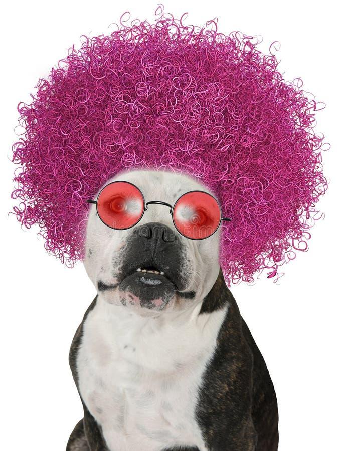 Cão engraçado, Afro do buldogue, isolado fotos de stock
