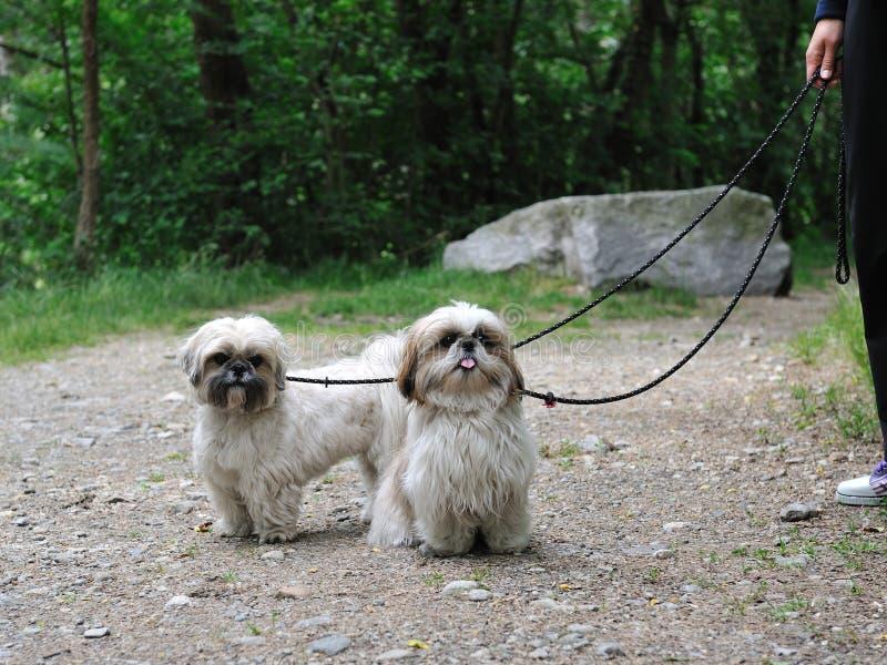 Cão engraçado bonito da raça do tzu do shih ao ar livre imagens de stock royalty free