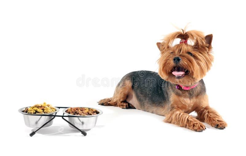 Cão engraçado bonito perto das bacias com alimento no fundo branco foto de stock