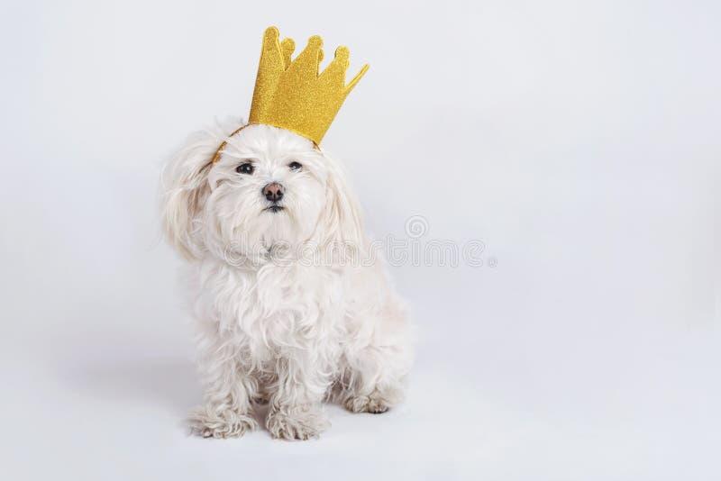 Cão engraçado com coroa fotografia de stock royalty free
