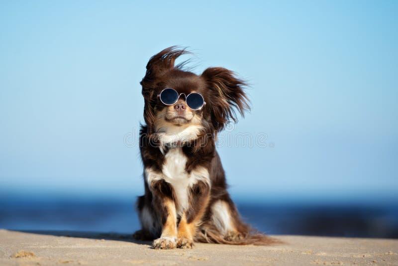 Cão engraçado da chihuahua nos óculos de sol que sentam-se em uma praia