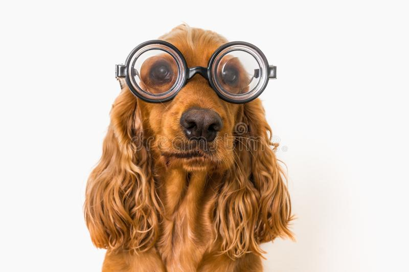 Cão engraçado de cocker spaniel com os monóculos isolados no branco imagem de stock royalty free