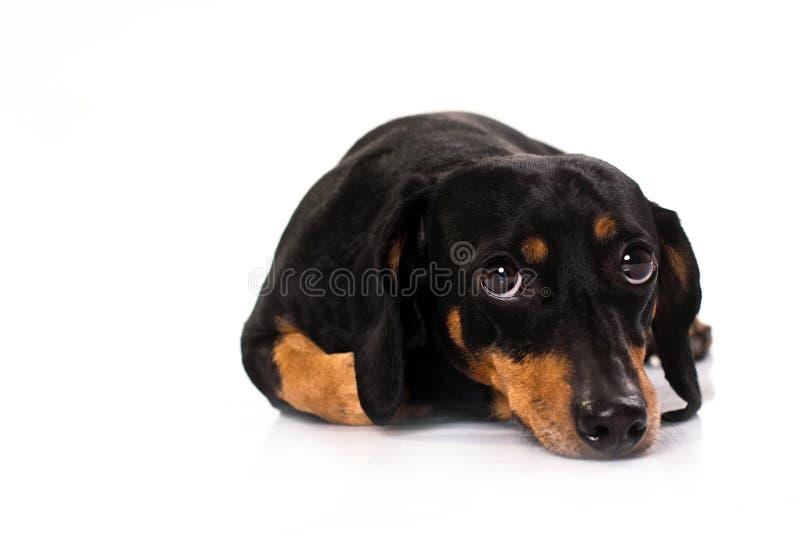 Cão engraçado do Dachshund da raça   fotografia de stock