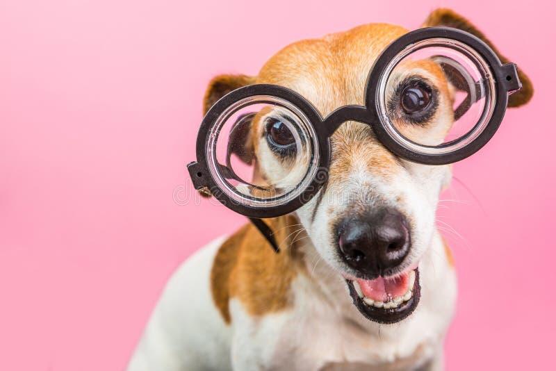 Cão engraçado do lerdo esperto em vidros redondos De volta à escola Fundo cor-de-rosa imagem de stock