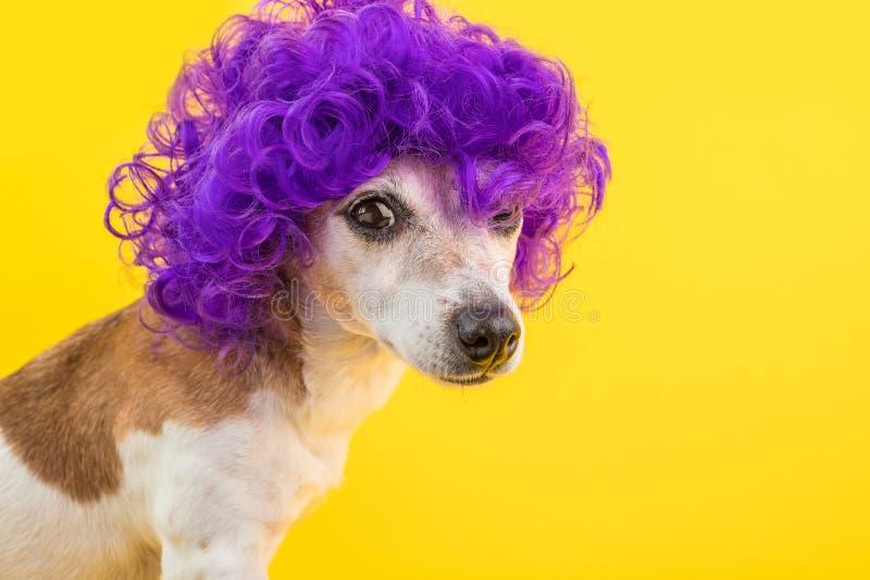 Cão engraçado do olhar dramático na peruca violeta Conceito arrogante Fundo amarelo das cores brilhantes imagem de stock royalty free