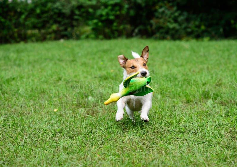 Cão engraçado do terrier que joga com pato do brinquedo imagens de stock