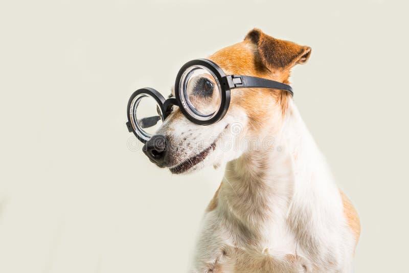 Cão engraçado esperto nos vidros que lookoing ao lado Bem-educado de volta ao tema da escola foto de stock royalty free