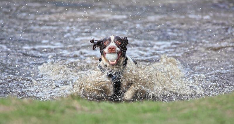 Cão engraçado na água imagens de stock