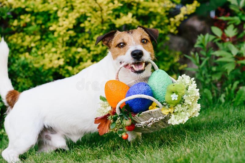Cão engraçado na caça do ovo durante Eastertide imagens de stock royalty free