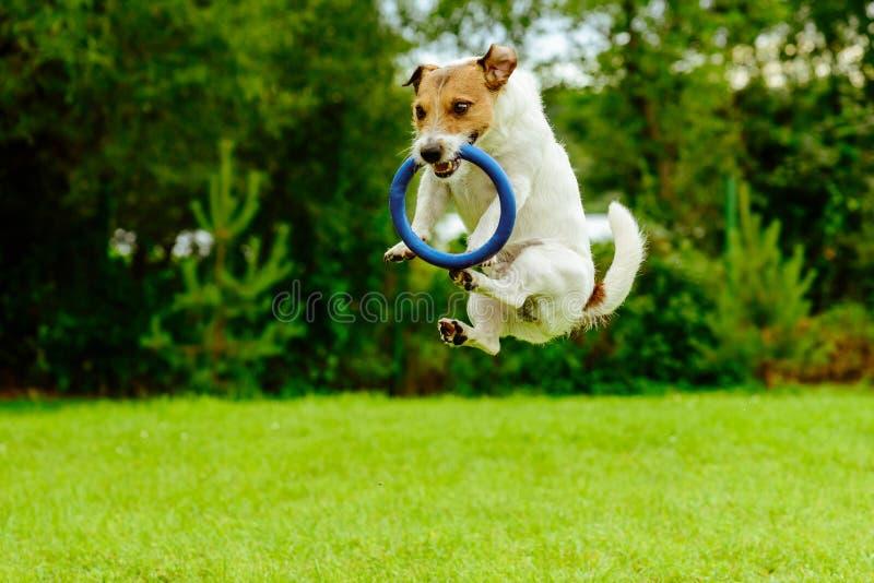 Cão engraçado no brinquedo de travamento de salto do lance do anel do movimento imagens de stock
