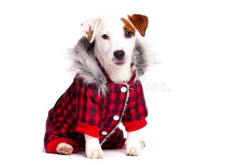 Cão engraçado no desgaste do inverno fotos de stock