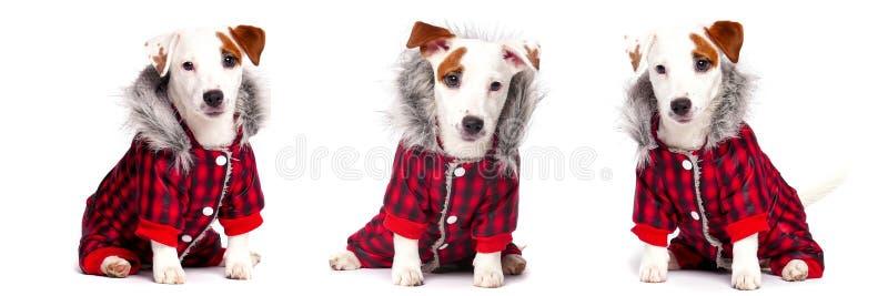 Cão engraçado no desgaste do inverno fotografia de stock