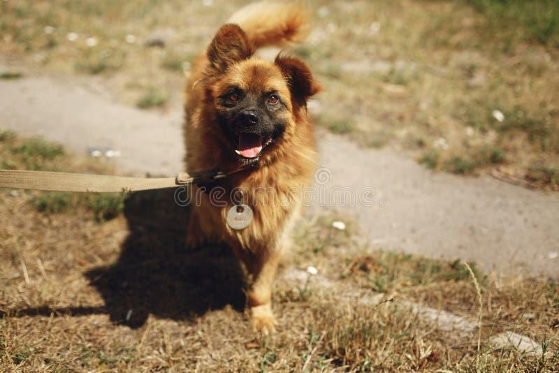 Cão engraçado positivo de Brown do abrigo com o olhar surpreendente que levanta o foto de stock