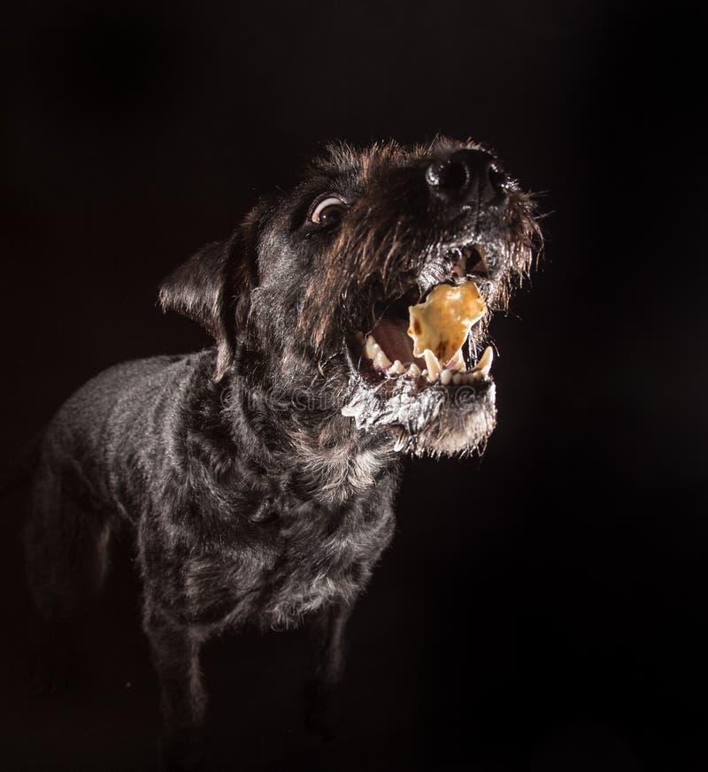 Cão engraçado preto que come o alimento imagem de stock