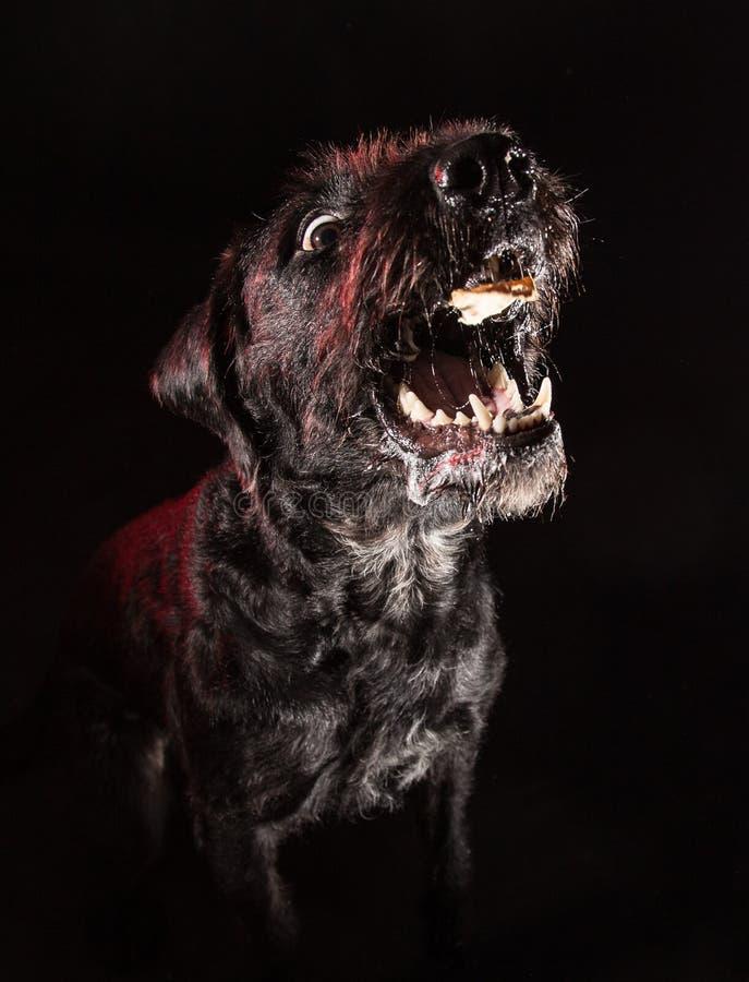 Cão engraçado preto que come o alimento imagens de stock royalty free