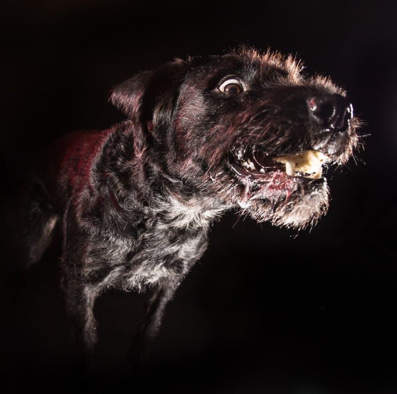 Cão engraçado preto que come o alimento fotografia de stock