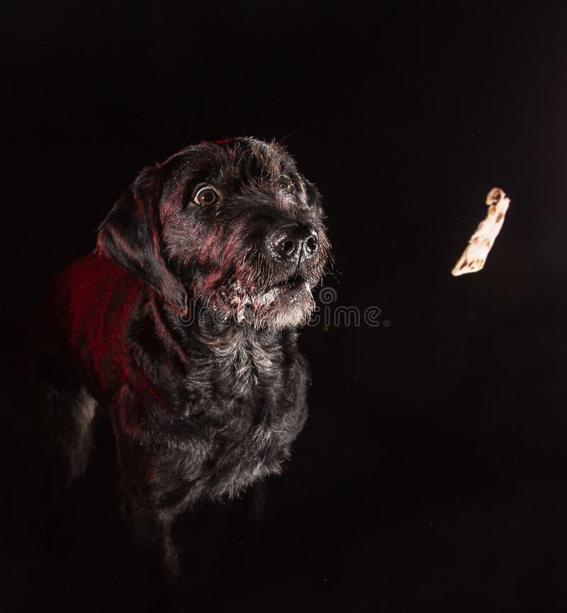 Cão engraçado preto que come o alimento fotografia de stock royalty free
