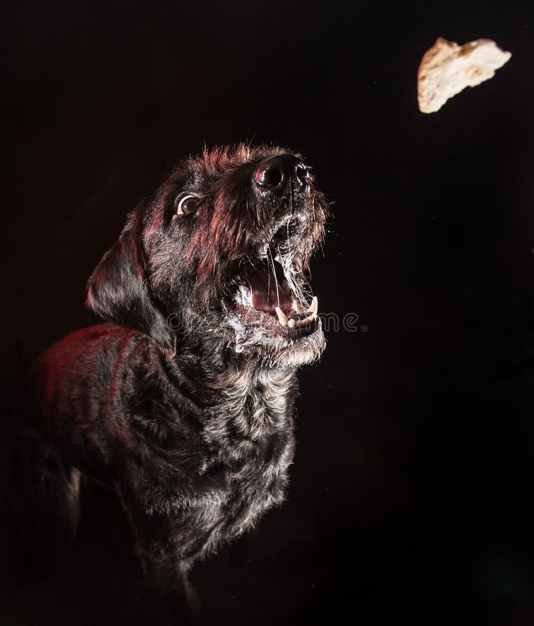 Cão engraçado preto que come o alimento fotos de stock