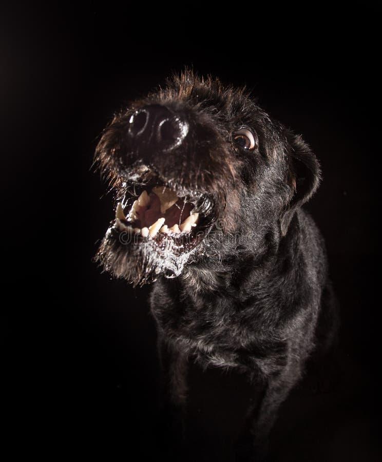 Cão engraçado preto que come o alimento imagem de stock royalty free
