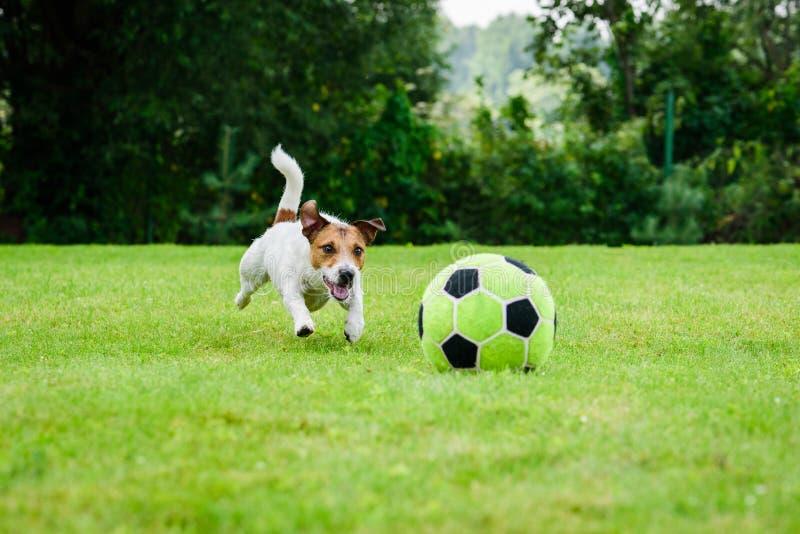 Cão engraçado que joga com a bola de futebol do futebol como o jogador dianteiro imagem de stock