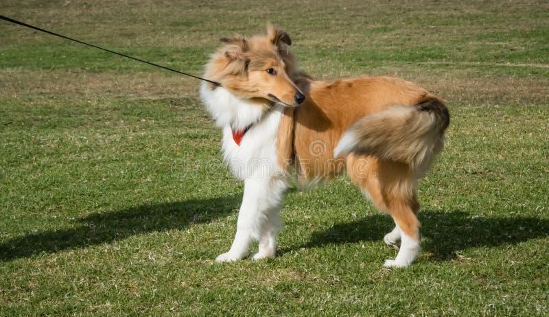 Cão escocês áspero da collie no chicote de fios que gerencie e que puxa contra a trela fotos de stock