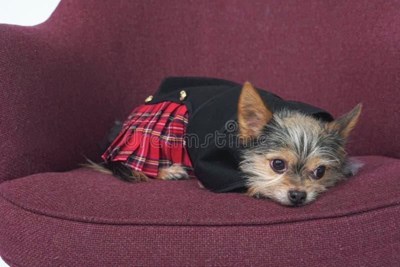 Cão escocês imagem de stock