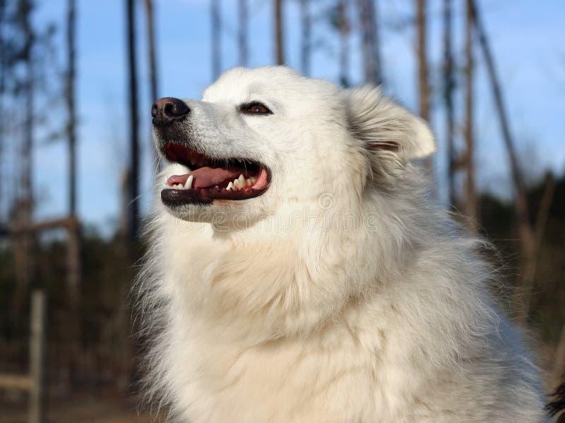 Cão Eskimo americano fotos de stock royalty free