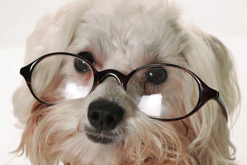 Cão esperto com vidros fotos de stock