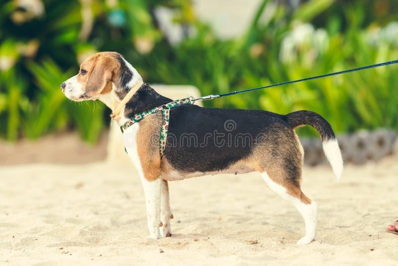 Cão fêmea bonito do lebreiro na praia da ilha de Bali, Indonésia fotografia de stock royalty free