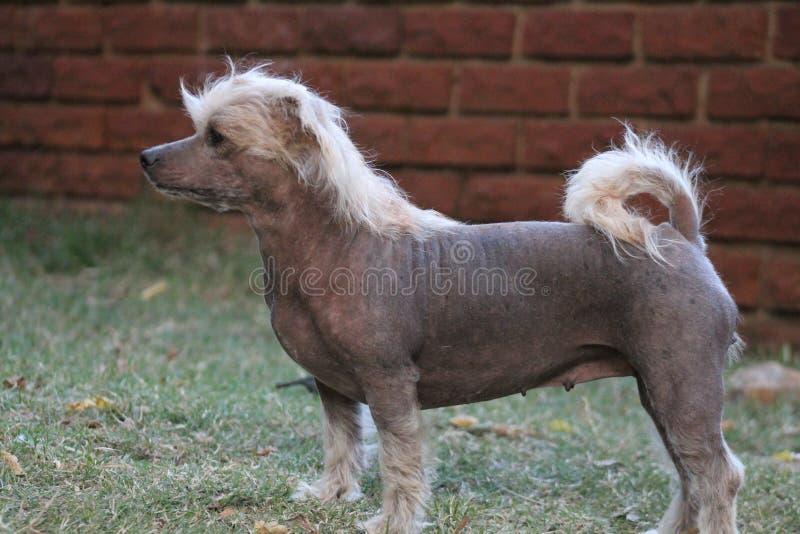 Cão fêmea calvo com crista chinês - Gimly fotografia de stock royalty free
