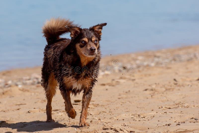 Cão fêmea cego devido ao diabetes foto de stock royalty free