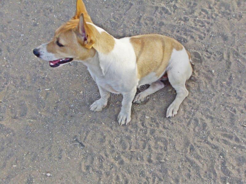Cão fêmea de Bea Jack Russell fotografia de stock royalty free