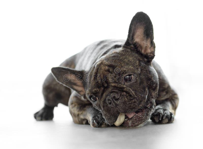 Cão fêmea engraçado do buldogue francês imagens de stock