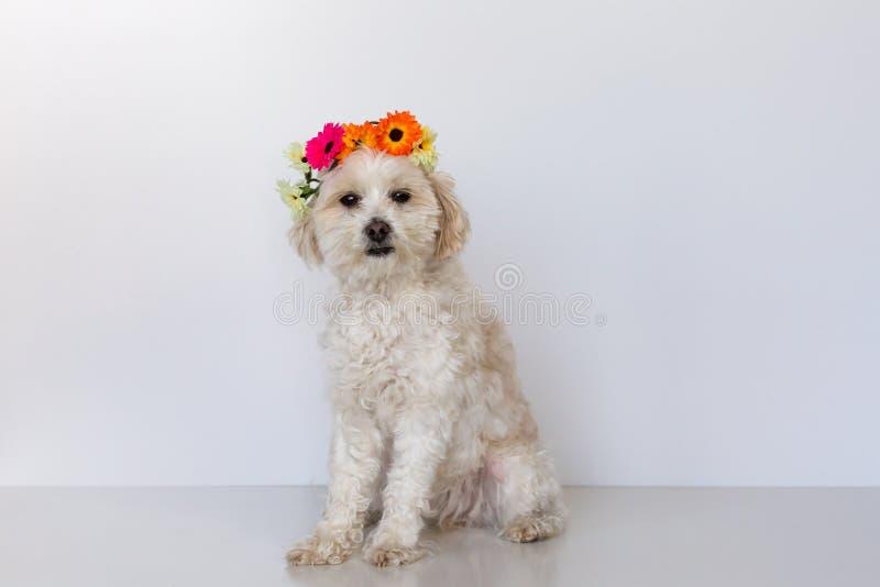 Cão fêmea pequeno da cruz maltesa que senta-se com uma coroa da flor foto de stock royalty free