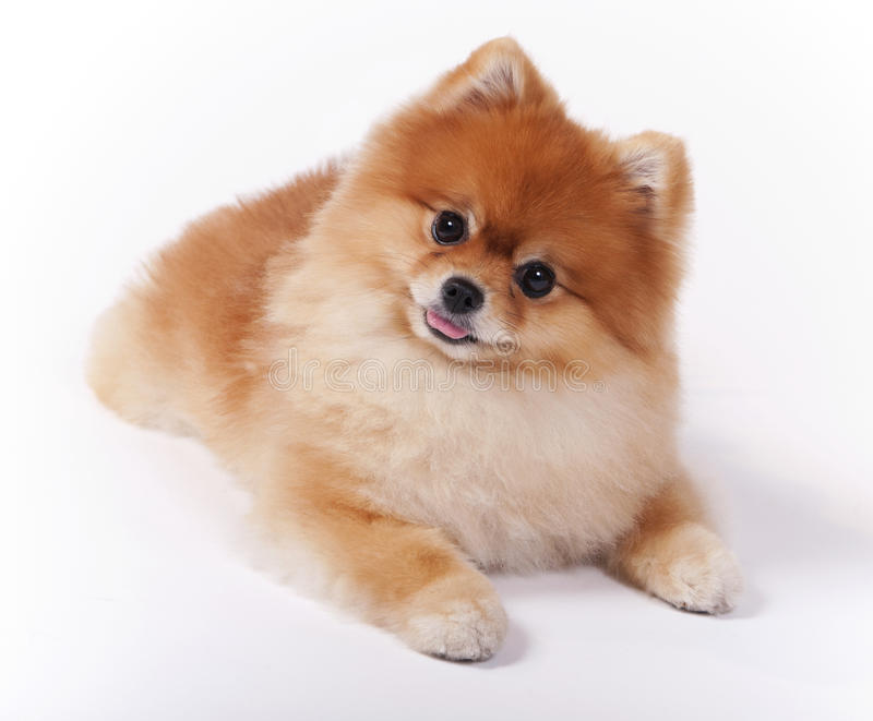 Cão fêmea pequeno da mostra do animal de estimação de Pomeranian