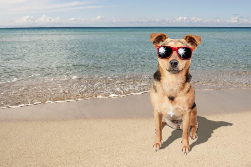 Cão Fawn Beach Sea Sunglasses pequena fotos de stock royalty free