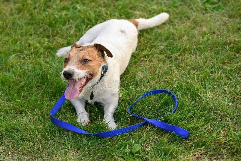 Cão feliz após a caminhada longa na trela que encontra-se para baixo na grama e que tem o resto foto de stock
