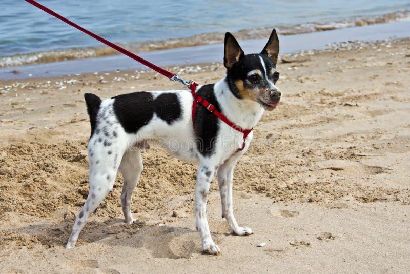 Cão feliz da praia fotografia de stock