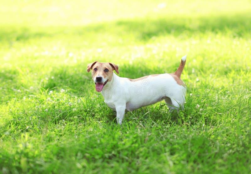 Cão feliz de Jack Russell Terrier na grama verde imagens de stock