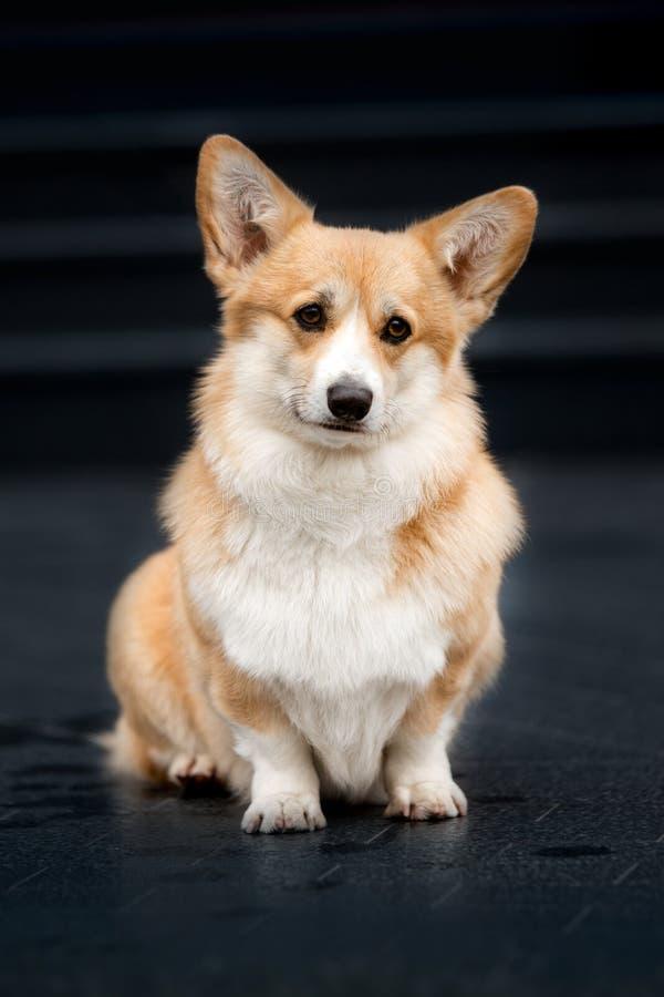 cão feliz do corgi de Galês do retrato fundo preto das escadas imagens de stock