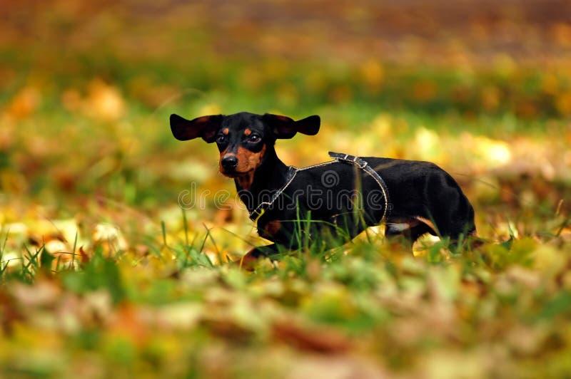 Cão feliz do dachshund imagens de stock