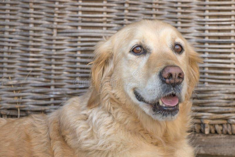Cão feliz do golden retriever com fundo de vime imagem de stock royalty free