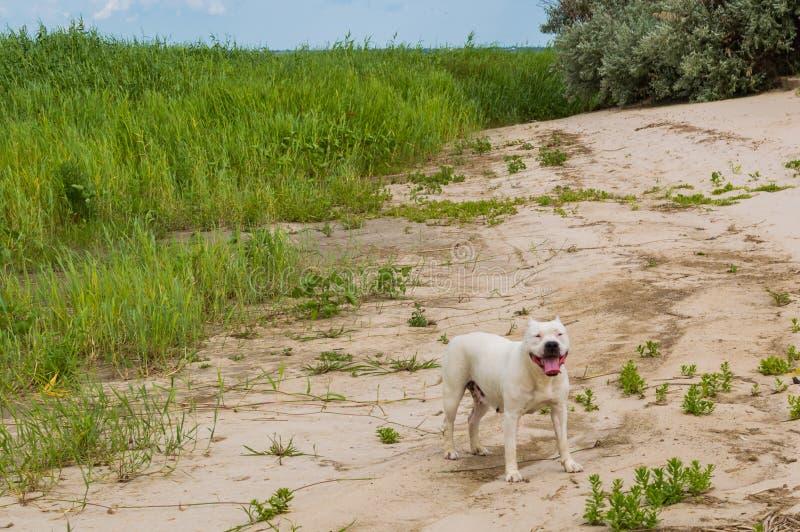 Cão feliz do pitbull, cara do cão do sorriso, Staffordshire Terrier americano Fundo natural da praia da areia fotos de stock