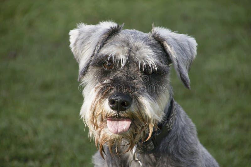 Cão feliz do Schnauzer fotografia de stock royalty free