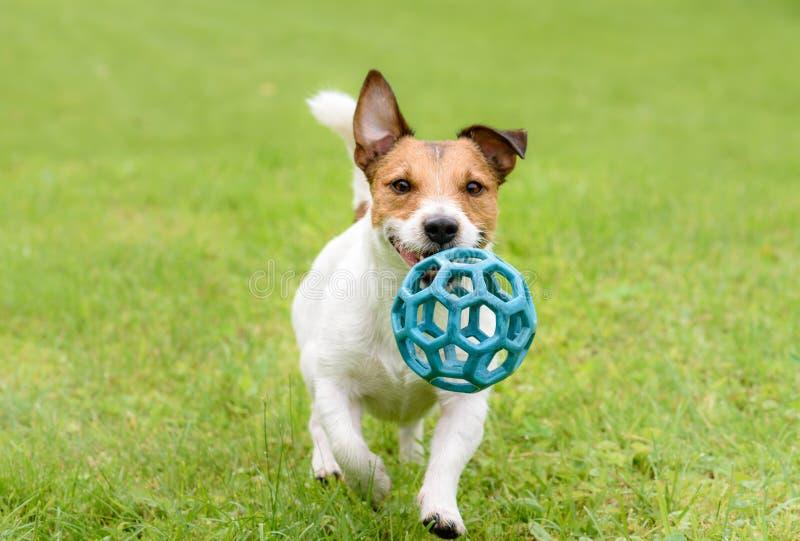 Cão feliz engraçado do terrier que corre e que joga com bola foto de stock