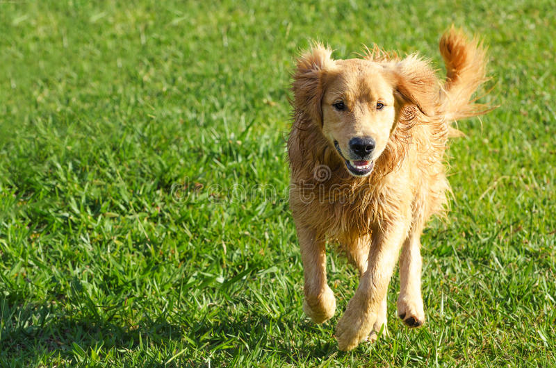 Cão feliz que corre em um campo verde fotografia de stock royalty free